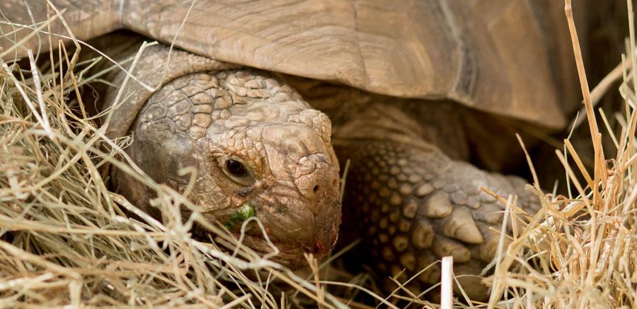 Sulcata tortoise at Yellow River Wildlife Sanctuary