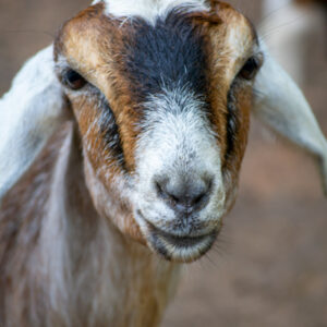 Greg the goat