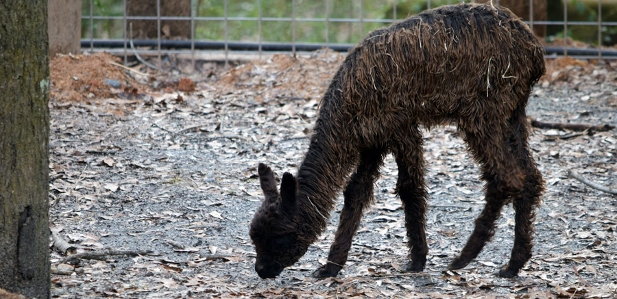 Alpacas at Yellow River Wildlife Sanctuary