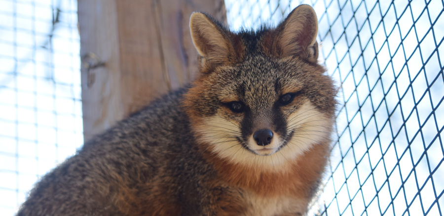 Gray fox at Yellow River Wildlife 3