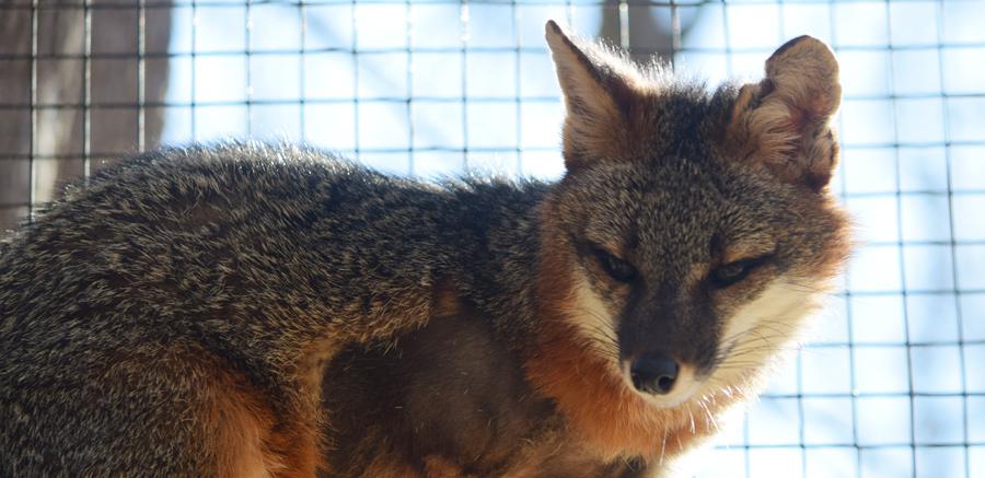 Gray fox at Yellow River Wildlife 1