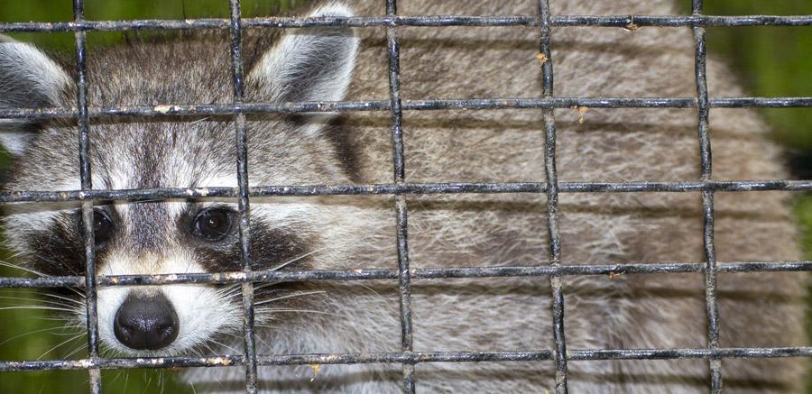 YRWS Raccoon