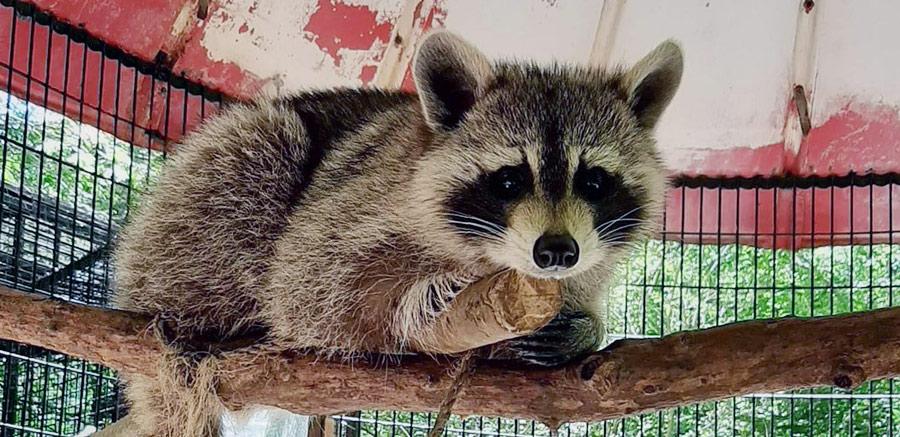 Yellow River Raccoon