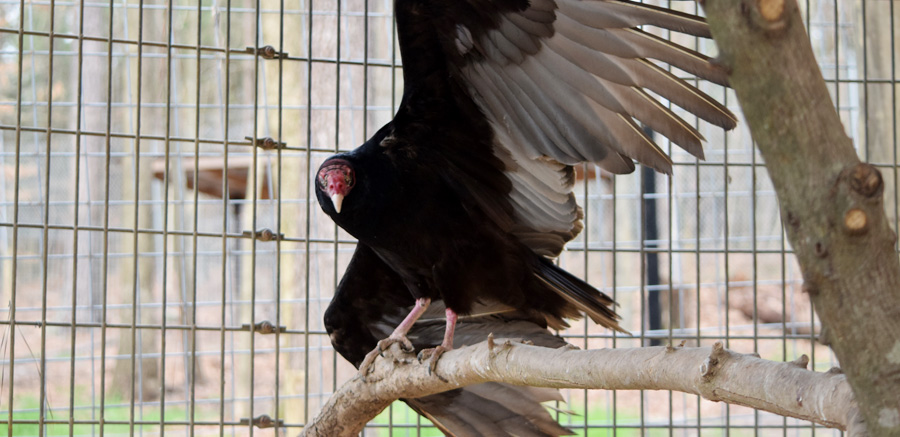Turkey Vulture YRWS 2