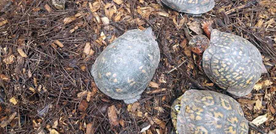 Box Turtles at Yellow River Wildlife Sanctuary