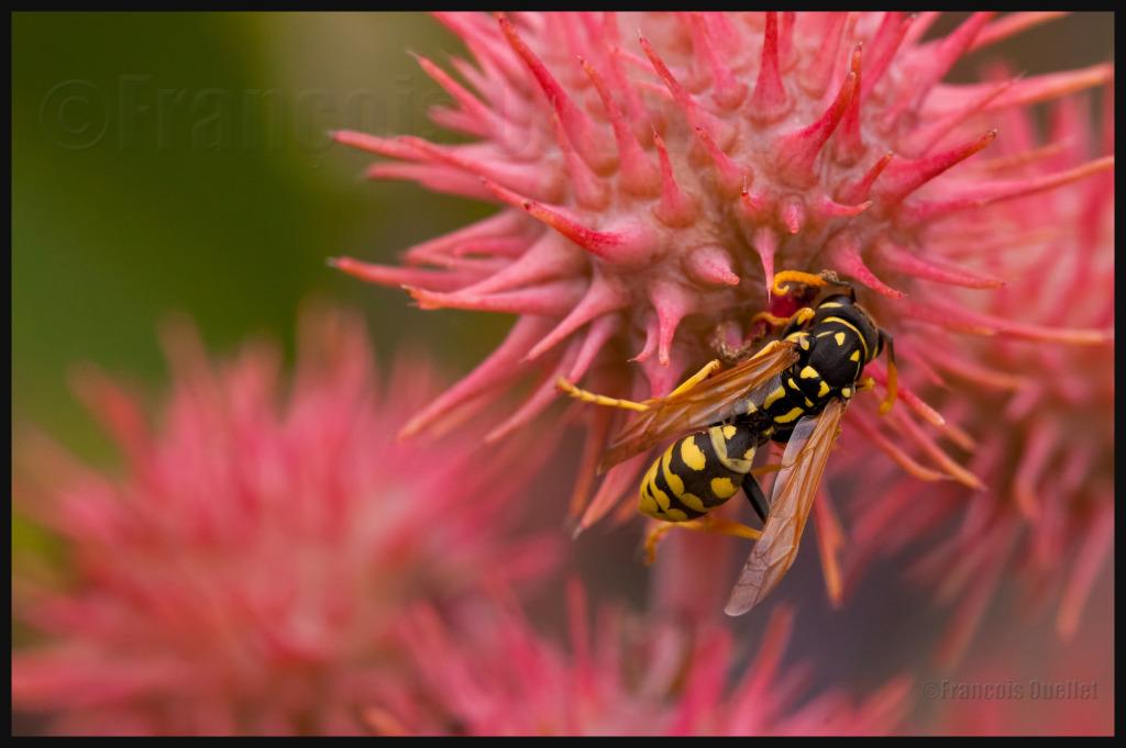 IMG_10029 Wasp Active in the Cataraqui Gardens watermark