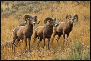 Mouflons canadiens près de Kamloops, Alberta, Canada en 2014