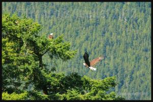 Couple d'aigles près de Campbell River, Colombie-Britannique en 2012