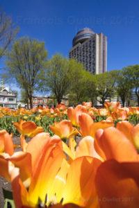 Hôtel le Concorde et tulipes du parc Jeanne d'Arc de la ville de Québec.
