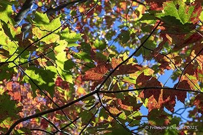Maple leaves in autumn in Québec.