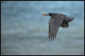 A-crow-in-Georgia-Strait-Canada-web
