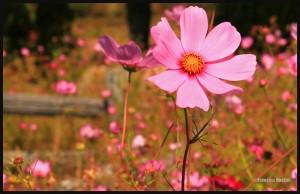 Fleur-à-St-Nicolas-web