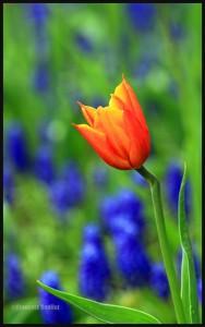 IMG_2944-Tulip-in-Bois-de-Coulonge-Quebec-web