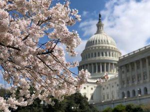 cherry blossom cap hill