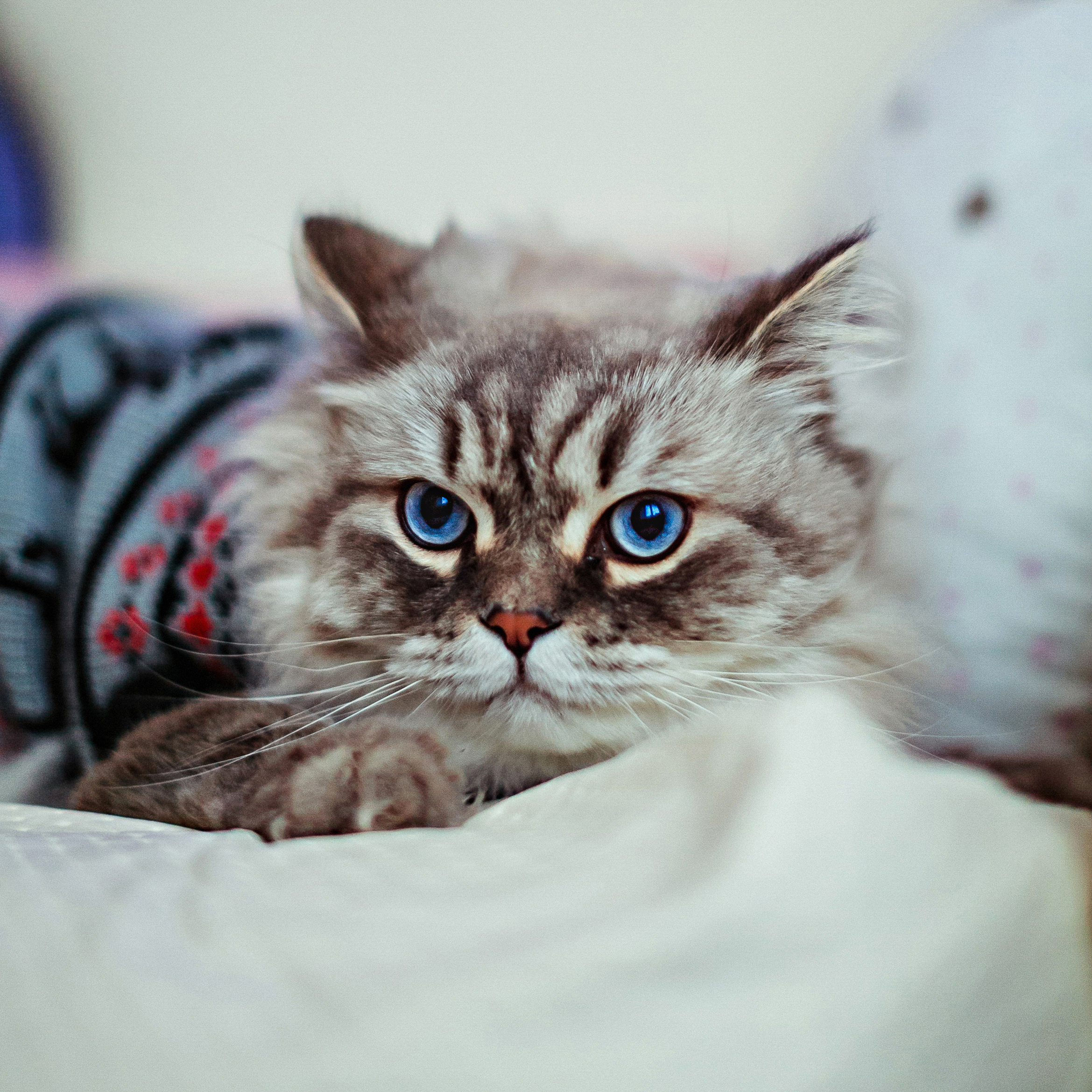 Grey cat in blue sweater lies on white blanket