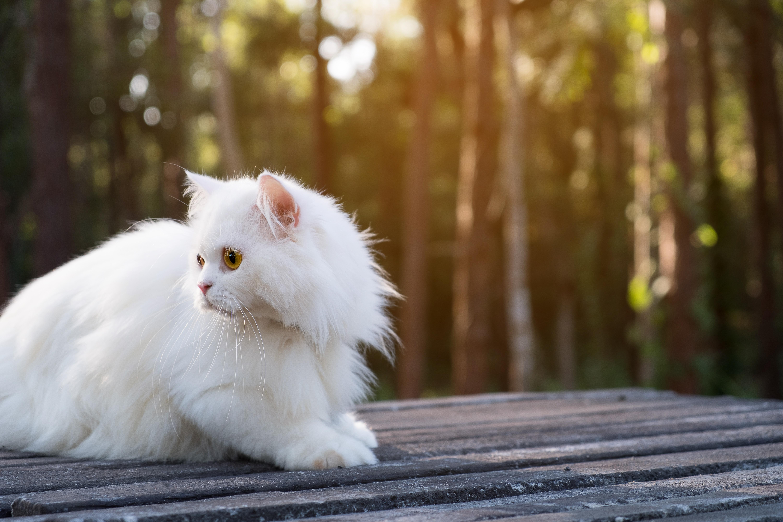 White persian cat on floor