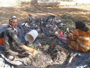bedouin-picking-olives-annoor-sanatorium