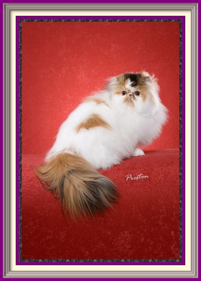 Persian Kittens for Sale, Breeder of healthy Persian kittens, Persian Cats & Kittens for Sale for Sale, Persian kitten breeder, Health Guarantee, kittens with Guarantee. Exotic Shorthair cat breeder in Alabama, Exotic Shorthair cat breeder in AL, Exotic Shorthair cat breeder in Alaska, AK, Exotic Shorthair cat breeder in Arizona, AZ, Exotic Shorthair cat breeder in Arkansas, AR, Exotic Shorthair cat breeder in California, CA, Exotic Shorthair cat breeder in Colorado, CO, Exotic Shorthair cat breeder in Connecticut, CT, Exotic Shorthair cat breeder in District of Columbia, DC, Exotic Shorthair cat breeder in Delaware, DE, Exotic Shorthair cat breeder in Florida, FL, Exotic Shorthair cat breeder in Georgia, GA, Exotic Shorthair cat breeder in Hawaii, HI, Exotic Shorthair cat breeder in Idaho, ID, Exotic Shorthair cat breeder in Illinois, IL, Exotic Shorthair cat breeder in Indiana, IN, Exotic Shorthair cat breeder in Iowa, IA, Exotic Shorthair cat breeder in Kansas, KS, Exotic Shorthair cat breeder in Kentucky, KY, Exotic Shorthair cat breeder in Louisiana, LA, Exotic Shorthair cat breeder in Maine, ME, Exotic Shorthair cat breeder in Maryland, MD, Exotic Shorthair cat breeder in Massachusetts, MA, Exotic Shorthair cat breeder in Michigan, MI, Exotic Shorthair cat breeder in Minnesota, MN, Exotic Shorthair cat breeder in Mississippi, MS, Exotic Shorthair cat breeder in Missouri, MO, Exotic Shorthair cat breeder in Montana, MT, Exotic Shorthair cat breeder in Nebraska, NE, Exotic Shorthair cat breeder in Nevada, NV, Exotic Shorthair cat breeder in New Hampshire, NH, Exotic Shorthair cat breeder in New Jersey, NJ, Exotic Shorthair cat breeder in New Mexico, NM, Exotic Shorthair cat breeder in New York, NY, Exotic Shorthair cat breeder in North Carolina, NC, Exotic Shorthair cat breeder in North Dakota, ND, Exotic Shorthair cat breeder in Ohio, OH, Exotic Shorthair cat breeder in Oklahoma, OK, Exotic Shorthair cat breeder in Oregon, OR, Exotic Shorthair cat breeder in Pe