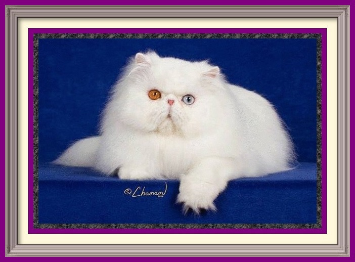 Persian kittens for sale in Alabama, Persian kitties for sale in AL, Persian kittens for sale in Alaska, AK, Persian kittens for sale in Arizona, AZ, Persian kittens for sale in Arkansas, AR, Persian kittens for sale in California, CA, Persian kittens for sale in Colorado, CO, Persian kittens for sale in Connecticut, CT, Persian kittens for sale in District of Columbia, DC, Persian kittens for sale in Delaware, DE, Persian kittens for sale in Florida, FL, Persian kittens for sale in Georgia, GA, Persian kittens for sale in Hawaii, HI, Persian kittens for sale in Idaho, ID, Persian kittens for sale in Illinois, IL, Persian kittens for sale in Indiana, IN, Persian kittens for sale in Iowa, IA, Persian kittens for sale in Kansas, KS, Persian kittens for sale in Kentucky, KY, Persian kittens for sale in Louisiana, LA, Persian kittens for sale in Maine, ME, Persian kittens for sale in Maryland, MD, Persian kittens for sale in Massachusetts, MA, Persian kittens for sale in Michigan, MI, Persian kittens for sale in Minnesota, MN, Persian kittens for sale in Mississippi, MS, Persian kittens for sale in Missouri, MO, Persian kittens for sale in Montana, MT, Persian kittens for sale in Nebraska, NE, Persian kittens for sale in Nevada, NV, Persian kittens for sale in New Hampshire, NH, Persian kittens for sale in New Jersey, NJ, Persian kittens for sale in New Mexico, NM, Persian kittens for sale in New York, NY, Persian kittens for sale in North Carolina, NC, Persian kittens for sale in North Dakota, ND, Persian kittens for sale in Ohio, OH, Persian kittens for sale in Oklahoma, OK, Persian kittens for sale in Oregon, OR, Persian kittens for sale in Pennsylvania, PA, Persian kittens for sale in Puerto Rico, PR, Persian kittens for sale in Rhode Island, RI, Persian kittens for sale in South Carolina, SC, Persian kittens for sale in South Dakota, SD, Persian kittens for sale in Tennessee, TN, Persian kittens for sale in Texas, TX, Persian kittens for sale in Utah, UT, Persian k