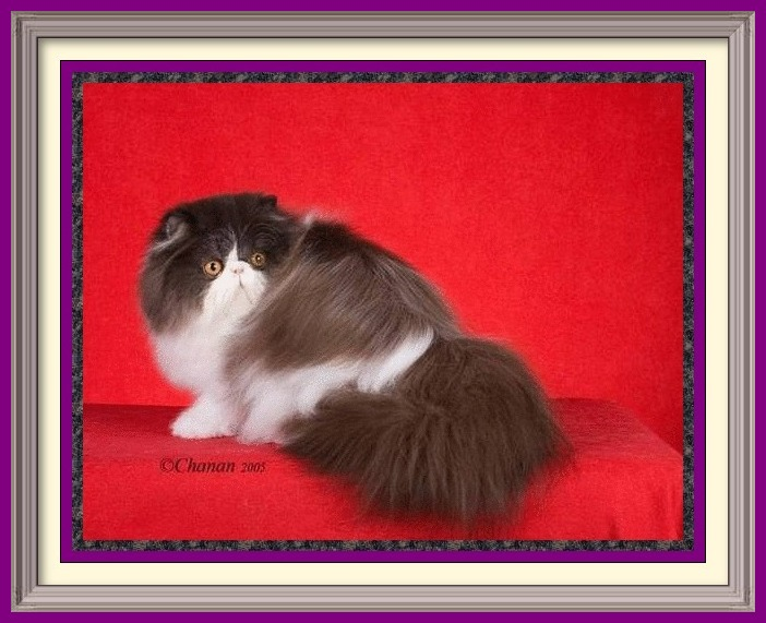 cattery, Exotic Shorthair cattery, Longhair cattery, Persian cattery, cat breeders cats breeders cats for sale kittens for sale kittens cats breeders exotic shorthair kittens, exotic shorthair cat breeders, shorthair cat breeders, persian kittens, persian cat breeders, cat breeders, cat breeder, cat breeders directory, catteries, catteries, cattery directory, cats, cat photos, persian, persians, blue-eyed white, copper eyed white, odd eyed white, blue eyed whites, copper eyed white, white persian, blue persians, chocolate perisans, blue cream persians, blue point kittens for sale, sale of kittens, Persian Kittens for Sale, Breeder of healthy Persian kittens, Persian Cats & Kittens for Sale for Sale, Persian kitten breeder, Health Guarantee, kittens with Guarantee. Exotic Shorthair cat breeder in Alabama, Exotic Shorthair cat breeder in AL, Exotic Shorthair cat breeder in Alaska, AK, Exotic Shorthair cat breeder in Arizona, AZ, Exotic Shorthair cat breeder in Arkansas, AR, Exotic Shorthair cat breeder in California, CA, Exotic Shorthair cat breeder in Colorado, CO, Exotic Shorthair cat breeder in Connecticut, CT, Exotic Shorthair cat breeder in District of Columbia, DC, Exotic Shorthair cat breeder in Delaware, DE, Exotic Shorthair cat breeder in Florida, FL, Exotic Shorthair cat breeder in Georgia, GA, Exotic Shorthair cat breeder in Hawaii, HI, Exotic Shorthair cat breeder in Idaho, ID, Exotic Shorthair cat breeder in Illinois, IL, Exotic Shorthair cat breeder in Indiana, IN, Exotic Shorthair cat breeder in Iowa, IA, Exotic Shorthair cat breeder in Kansas, KS, Exotic Shorthair cat breeder in Kentucky, KY, Exotic Shorthair cat breeder in Louisiana, LA, Exotic Shorthair cat breeder in Maine, ME, Exotic Shorthair cat breeder in Maryland, MD, Exotic Shorthair cat breeder in Massachusetts, MA, Exotic Shorthair cat breeder in Michigan, MI, Exotic Shorthair cat breeder in Minnesota, MN, Exotic Shorthair cat breeder in Mississippi, MS, Exotic Shorthair cat breeder in Misso