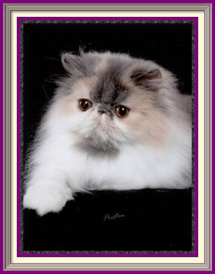 Persian cat breeder in Alabama, Persian cat breeder in AL, Persian cat breeder in Alaska, AK, Persian cat breeder in Arizona, AZ, Persian cat breeder in Arkansas, AR, Persian cat breeder in California, CA, Persian cat breeder in Colorado, CO, Persian cat breeder in Connecticut, CT, Persian cat breeder in District of Columbia, DC, Persian cat breeder in Delaware, DE, Persian cat breeder in Florida, FL, Persian cat breeder in Georgia, GA, Persian cat breeder in Hawaii, HI, Persian cat breeder in Idaho, ID, Persian cat breeder in Illinois, IL, Persian cat breeder in Indiana, IN, Persian cat breeder in Iowa, IA, Persian cat breeder in Kansas, KS, Persian cat breeder in Kentucky, KY, Persian cat breeder in Louisiana, LA, Persian cat breeder in Maine, ME, Persian cat breeder in Maryland, MD, Persian cat breeder in Massachusetts, MA, Persian cat breeder in Michigan, MI, Persian cat breeder in Minnesota, MN, Persian cat breeder in Mississippi, MS, Persian cat breeder in Missouri, MO, Persian cat breeder in Montana, MT, Persian cat breeder in Nebraska, NE, Persian cat breeder in Nevada, NV, Persian cat breeder in New Hampshire, NH, Persian cat breeder in New Jersey, NJ, Persian cat breeder in New Mexico, NM, Persian cat breeder in New York, NY, Persian cat breeder in North Carolina, NC, Persian cat breeder in North Dakota, ND, Persian cat breeder in Ohio, OH, Persian cat breeder in Oklahoma, OK, Persian cat breeder in Oregon, OR, Persian cat breeder in Pennsylvania, PA, Persian cat breeder in Puerto Rico, PR, Persian cat breeder in Rhode Island, RI, Persian cat breeder in South Carolina, SC, Persian cat breeder in South Dakota, SD, Persian cat breeder in Tennessee, TN, Persian cat breeder in Texas, TX, Persian cat breeder in Utah, UT, Persian cat breeder in Vermont, VT, Persian cat breeder in Virginia, VA, Persian cat breeder in Washington, WA, Persian cat breeder in West Virginia, WV, Persian cat breeder in Wisconsin, WI, Persian cat breeder in Wyoming, WY Exotic Shorthair 
