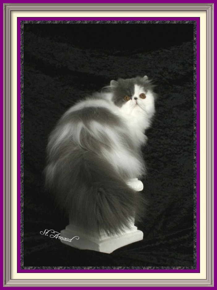 Cats for sale, cat classifieds, cat photo, kittens, cat toys, Persian, Persians, catteries, catteries, cattery directory, cats, cat photos, cat, kittens for sale, cats for sale, kittens and cats for sale, kittens sale, cats sale, cat breeders cats breeders cats for sale kittens for sale kittens cats breeders Exotic Shorthair kittens, Exotic Shorthair cat breeders, Exotic Longhair kittens, Persian kittens, Alabama, Alaska, Arizona, Arkansas, California, Colorado, Connecticut, Delaware, Florida, Georgia, Hawaii, Idaho, Illinois, Indiana, Iowa, Kansas, Kentucky, Louisiana, Maine, Maryland, Massachusetts, Michigan, Minnesota, Mississippi, Missouri, Montana, Nebraska, Nevada, New Hampshire, New Jersey, New Mexico, New York, North Carolina, North Dakota, Ohio, Oklahoma, Oregon, Pennsylvania, Rhode Island, South Carolina, South Dakota, Tennessee, Texas, Utah, Vermont, Virginia, Washington, Washington DC, West Virginia, Wisconsin, Wyoming, CHOCOLATE PERSIANS, TORTOISESHELL, PERSIANS, LILAC CREAM PERSIANS, CHOCOLATE PERSIAN KITTENS, LILAC PERSIAN KITTENS, CAT BREEDERS, CAT BREEDER, CAT, CATS, KITTEN, KITTENS, KITTENS FOR SALE, KITTEN FOR SALE, KITTEN SALE, SALE FOR KITTENS, BREEDERS, PEDIGREED CATS, SHOW CATS, PUREBRED CATS, PUREBREED, PUREBRED, CFA, CFA CATS, CFA REGISTERED CATS, CFA PERSIAN, PEDIGRED CATS, PEDIGREED KITTENS, PEDIGREED KITTIES, COLORPOINT SHORTHAIRS, EXOTIC SHORTHAIRS, EXOTIC SH, LONGHAIRS, PERSIANS, cat breeders services, cat breeders directory, cat breeders list, breedlist, breed list, cats, kittens, kitties, doll face, dollface, breeders list, cattery list, catteries list, world catteries. cattery directory, breedlist, list, cat breed list, cat list, cattery listings, add your cattery, add cattery, cat pictures, cat photos, kitten pictures, kitten picture, cats, cat blue-eyed white, copper eyed white, odd eyed white, blue eyed whites, copper eyed white, white Persian, blue Persians, chocolate Persians, blue cream Persians, himalayans, dna, pkd negative, 