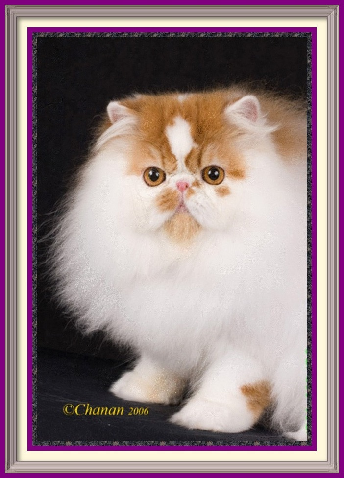 Persian Kittens for sale near me, Persian Cattery, Persian, Persians, Persian Cats, Persian Cat, Persian kittens, Persian kitten, Persian Cat Breeder, Persian Cat Breeders, Cat Breeder, Cat Breeders, cattery, cat, cats, kitten, kittens, Breeder, Breeders, feline, pet, Rocky Mountains, companion, breeder, breeders, Longhairs, Longhair Cats, longhair cats, Cat Fanciers Association, Persian show kitten, Persian show cat, Persian show cat for sale near me Exotic Shorthair Kittens for sale near me, Exotic Shorthair Cattery, Exotic Shorthair, Exotic Shorthair, Exotic Shorthair, Exotic Shorthair Cat, Exotic Shorthair kittens, Exotic Shorthair kitten, Exotic Shorthair Cat Breeder, Exotic Shorthair Cat Breeders, Cat Breeder, Cat Breeders, cattery, cat, cats, kitten, kittens, Breeder, Breeders, feline, pet, Minneapolis, Minnesota, Saint Paul, Twin Cities, companion, breeder, breeders, Exotic Shorthair and Longhairs, Exotic Shorthair Cats, longhair cats, Cat Fanciers Association, Exotic Shorthair show kitten, Exotic Shorthair show cat, Exotic Shorthair show cat for sale near me Exotic Longhair Kittens for sale near me, Exotic Longhair Cattery, Exotic Longhair, Exotic Shorthair Cat, Exotic Longhair kittens, Exotic Longhair kitten, Exotic Longhair Cat Breeder, Exotic Longhair Cat Breeders, Cat Breeder, Cat Breeders, cattery, cat, cats, kitten, kittens, Breeder, Breeders, feline, pet, Minneapolis, Minnesota, Saint Paul, Twin Cities, companion, breeder, breeders, Exotic Shorthair and Longhairs, Exotic Longhair Cats, longhair cats, Cat Fanciers Association, Exotic Longhair show kitten, Exotic Longhair show cat, Exotic Longhair show cat for sale near me CFA Registered Persian cats and Persian kittens for sale. Get more information on Persian cats, Persian kittens, and cat shows. Persian Cattery, Persian, Persians, Persian Cats, Persian Kitten In Colorado, Persian Breeder In Colorado, Persian Cats for Sale, Persian Cat, Persian Kittens, Persian Kitten, Persian Cat Breeder, Persian Ca