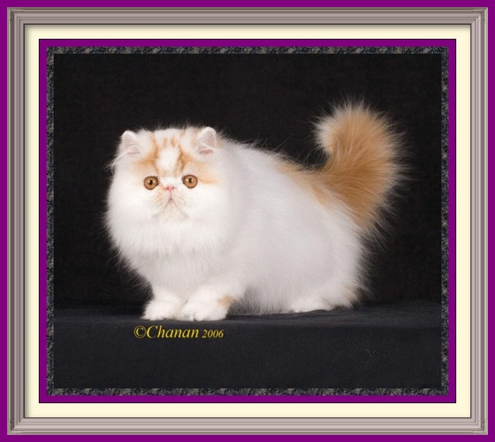Exotic Longhair kittens for sale in Alabama, Exotic Longhair kittens for sale in AL, Exotic Longhair kittens for sale in Alaska, AK, Exotic Longhair kittens for sale in Arizona, AZ, Exotic Longhair kittens for sale in Arkansas, AR, Exotic Longhair kittens for sale in California, CA, Exotic Longhair kittens for sale in Colorado, CO, Exotic Longhair kittens for sale in Connecticut, CT, Exotic Longhair kittens for sale in District of Columbia, DC, Exotic Longhair kittens for sale in Delaware, DE, Exotic Longhair kittens for sale in Florida, FL, Exotic Longhair kittens for sale in Georgia, GA, Exotic Longhair kittens for sale in Hawaii, HI, Exotic Longhair kittens for sale in Idaho, ID, Exotic Longhair kittens for sale in Illinois, IL, Exotic Longhair kittens for sale in Indiana, IN, Exotic Longhair kittens for sale in Iowa, IA, Exotic Longhair kittens for sale in Kansas, KS, Exotic Longhair kittens for sale in Kentucky, KY, Exotic Longhair kittens for sale in Louisiana, LA, Exotic Longhair kittens for sale in Maine, ME, Exotic Longhair kittens for sale in Maryland, MD, Exotic Longhair kittens for sale in Massachusetts, MA, Exotic Longhair kittens for sale in Michigan, MI, Exotic Longhair kittens for sale in Minnesota, MN, Exotic Longhair kittens for sale in Mississippi, MS, Exotic Longhair kittens for sale in Missouri, MO, Exotic Longhair kittens for sale in Montana, MT, Exotic Longhair kittens for sale in Nebraska, NE, Exotic Longhair kittens for sale in Nevada, NV, Exotic Longhair kittens for sale in New Hampshire, NH, Exotic Longhair kittens for sale in New Jersey, NJ, Exotic Longhair kittens for sale in New Mexico, NM, Exotic Longhair kittens for sale in New York, NY, Exotic Longhair kittens for sale in North Carolina, NC, Exotic Longhair kittens for sale in North Dakota, ND, Exotic Longhair kittens for sale in Ohio, OH, Exotic Longhair kittens for sale in Oklahoma, OK, Exotic Longhair kittens for sale in Oregon, OR, Exotic Longhair kittens for sale in Pennsylvania