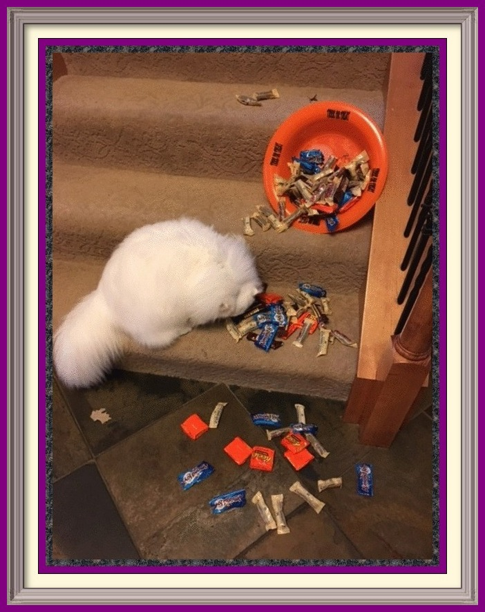 Exotic Longhair Kittens for sale near me, Exotic Longhair Cattery, Exotic Longhair, Exotic Shorthair Cat, Exotic Longhair kittens, Exotic Longhair kitten, Exotic Longhair Cat Breeder, Exotic Longhair Cat Breeders, Cat Breeder, Cat Breeders, cattery, cat, cats, kitten, kittens, Breeder, Breeders, feline, pet, Minneapolis, Minnesota, Saint Paul, Twin Cities, companion, breeder, breeders, Exotic Shorthair and Longhairs, Exotic Longhair Cats, longhair cats, Cat Fanciers Association, Exotic Longhair show kitten, Exotic Longhair show cat, Exotic Longhair show cat for sale near me CFA Registered Persian cats and Persian kittens for sale. Get more information on Persian cats, Persian kittens, and cat shows. Persian Cattery, Persian, Persians, Persian Cats, Persian Kitten In Colorado, Persian Breeder In Colorado, Persian Cats for Sale, Persian Cat, Persian Kittens, Persian Kitten, Persian Cat Breeder, Persian Cat Breeders, Persian Cat Breeder In Colorado, Persian Kitten Breeder In Colorado, Cat Breeder, Cat Breeders, Cattery, Cat, Cats, Kitten, Kittens, Breeder, Breeders, Feline, Pet, Rocky Mountains, Companion, Longhairs, Longhair Cats, Cat Fanciers Association, Grooming And Bathing Persians, Health Guarantee, Bathing, Bath, Persian, Bath, Mats, Comb, Persians, Purebred, Purebreds, Persian, Shows, Himalayan Cats, Longhair Kittens, Sweet Face, Cat Health, Cat Links, Sire, Dam, Pedigree Cats, Kitten Sales, Home Raised, Cattery, Cat Care, Cat Referral, Pet Cat, Feline, Sire, Dam, Tabbys, Tabbies, Pointed, Health, Temperament, Disposition, Purr, Personality, Pets, Feline, Cat Links, Raised, Cats Raised Underfoot, Pedigree, Kittens Available, Cat Care, Bi-Color, Bicolor, Solid, Smoke, Flat Face, Calico, Champion, Grand Champion, Tortoiseshell, Tortiseshell, Blue-Cream, Blue Cream, Bi-Color Van, Bicolor Van, Groomer's Goop, Goop to wash cats, degrease with Goop, Feline behavior modification with Feliway.