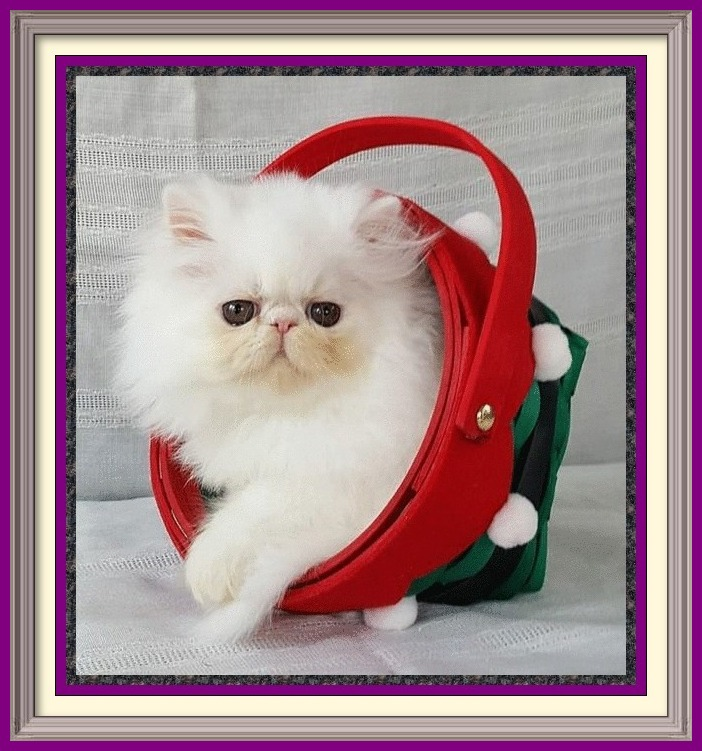 Persian kittens for sale in Alabama, Persian kittens for sale in AL, Persian kittens for sale in Alaska, AK, Persian kittens for sale in Arizona, AZ, Persian kittens for sale in Arkansas, AR, Persian kittens for sale in California, CA, Persian kittens for sale in Colorado, CO, Persian kittens for sale in Connecticut, CT, Persian kittens for sale in District of Columbia, DC, Persian kittens for sale in Delaware, DE, Persian kittens for sale in Florida, FL, Persian kittens for sale in Georgia, GA, Persian kittens for sale in Hawaii, HI, Persian kittens for sale in Idaho, ID, Persian kittens for sale in Illinois, IL, Persian kittens for sale in Indiana, IN, Persian kittens for sale in Iowa, IA, Persian kittens for sale in Kansas, KS, Persian kittens for sale in Kentucky, KY, Persian kittens for sale in Louisiana, LA, Persian kittens for sale in Maine, ME, Persian kittens for sale in Maryland, MD, Persian kittens for sale in Massachusetts, MA, Persian kittens for sale in Michigan, MI, Persian kittens for sale in Minnesota, MN, Persian kittens for sale in Mississippi, MS, Persian kittens for sale in Missouri, MO, Persian kittens for sale in Montana, MT, Persian kittens for sale in Nebraska, NE, Persian kittens for sale in Nevada, NV, Persian kittens for sale in New Hampshire, NH, Persian kittens for sale in New Jersey, NJ, Persian kittens for sale in New Mexico, NM, Persian kittens for sale in New York, NY, Persian kittens for sale in North Carolina, NC, Persian kittens for sale in North Dakota, ND, Persian kittens for sale in Ohio, OH, Persian kittens for sale in Oklahoma, OK, Persian kittens for sale in Oregon, OR, Persian kittens for sale in Pennsylvania, PA, Persian kittens for sale in Puerto Rico, PR, Persian kittens for sale in Rhode Island, RI, Persian kittens for sale in South Carolina, SC, Persian kittens for sale in South Dakota, SD, Persian kittens for sale in Tennessee, TN, Persian kittens for sale in Texas, TX, Persian kittens for sale in Utah, UT, Persian k