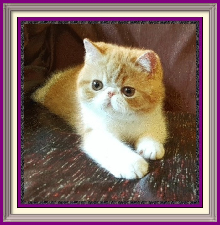 Exotic Shorthair kittens for sale in Alabama, Exotic Shorthair kittens for sale in AL, Exotic Shorthair kittens for sale in Alaska, AK, Exotic Shorthair kittens for sale in Arizona, AZ, Exotic Shorthair kittens for sale in Arkansas, AR, Exotic Shorthair kittens for sale in California, CA, Exotic Shorthair kittens for sale in Colorado, CO, Exotic Shorthair kittens for sale in Connecticut, CT, Exotic Shorthair kittens for sale in District of Columbia, DC, Exotic Shorthair kittens for sale in Delaware, DE, Exotic Shorthair kittens for sale in Florida, FL, Exotic Shorthair kittens for sale in Georgia, GA, Exotic Shorthair kittens for sale in Hawaii, HI, Exotic Shorthair kittens for sale in Idaho, ID, Exotic Shorthair kittens for sale in Illinois, IL, Exotic Shorthair kittens for sale in Indiana, IN, Exotic Shorthair kittens for sale in Iowa, IA, Exotic Shorthair kittens for sale in Kansas, KS, Exotic Shorthair kittens for sale in Kentucky, KY, Exotic Shorthair kittens for sale in Louisiana, LA, Exotic Shorthair kittens for sale in Maine, ME, Exotic Shorthair kittens for sale in Maryland, MD, Exotic Shorthair kittens for sale in Massachusetts, MA, Exotic Shorthair kittens for sale in Michigan, MI, Exotic Shorthair kittens for sale in Minnesota, MN, Exotic Shorthair kittens for sale in Mississippi, MS, Exotic Shorthair kittens for sale in Missouri, MO, Exotic Shorthair kittens for sale in Montana, MT, Exotic Shorthair kittens for sale in Nebraska, NE, Exotic Shorthair kittens for sale in Nevada, NV, Exotic Shorthair kittens for sale in New Hampshire, NH, Exotic Shorthair kittens for sale in New Jersey, NJ, Exotic Shorthair kittens for sale in New Mexico, NM, Exotic Shorthair kittens for sale in New York, NY, Exotic Shorthair kittens for sale in North Carolina, NC, Exotic Shorthair kittens for sale in North Dakota, ND, Exotic Shorthair kittens for sale in Ohio, OH, Exotic Shorthair kittens for sale in Oklahoma, OK, Exotic Shorthair kittens for sale in Oregon, OR, Exotic Sh