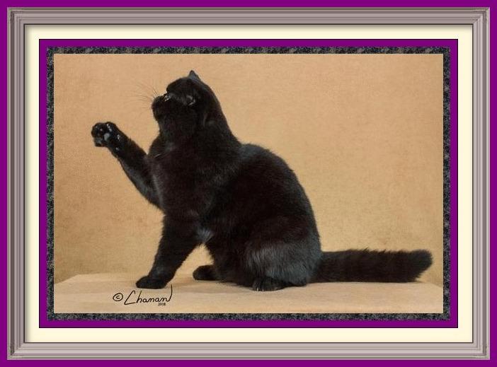 sale, exptic shorthair kitten, ginger british shorthair cat, british shorthair care, british blue shorthair cat temperament, exotic shorthair silver tabby, pedigree british shorthair, ragdoll kittens for sale in Wisconsin, british shorthair striped, purebred exotic shorthair kittens, british shorthair behavior, british shorthair cat information, golden british shorthair for sale, exotic cat names, white siamese kittens for sale, british shorthair shed, large exotic cats, british cat buy, blue tortie british shorthair, british shorthair coat, british exotic shorthair cat, british blue shorthair cats for adoption, british blue tabby, munchkin cat breeds, british shorthair cat kittens, persian cat kitten for sale, british shorthair kitty, price of exotic shorthair cat, exzotic cats, exotic shorthair information, exotic himalayan cat, british shorthair kittens nyc, silver exotic shorthair, best brush for british shorthair cat, british blue kitten price, british shorthair house cat, short haired himalayan kittens for sale, siamese kittens for sale Illinois, british colourpoint cat, british longhair kittens price, english shorthair cat price, the british shorthair cat, english blue cat kittens, british shorthair lilac point, exotic shorthair stud, british longhair kittens for sale near me, european shorthair cat price, pure british shorthair, british shorthair spotted, british shorthair kittens for sale Singapore, grey shorthair kittens for sale, garfield cat breed for sale, oriental cat breeds, british blue tabby cat, british shorthair intelligence, british shorthair grey and white, british shorthair tiger, british shorthair cost, british shorthair weight, blue exotic kitten, serval cat breeds, blue point ragdoll kittens for sale, orange british shorthair kitten, silver british shorthair for sale, chartreux cat breeds, british shorthair cross, exotic kittens for sale uk, blue shorthair cat breeds, asian shorthair cat for sale, british black cat, exotic cats for sale in T