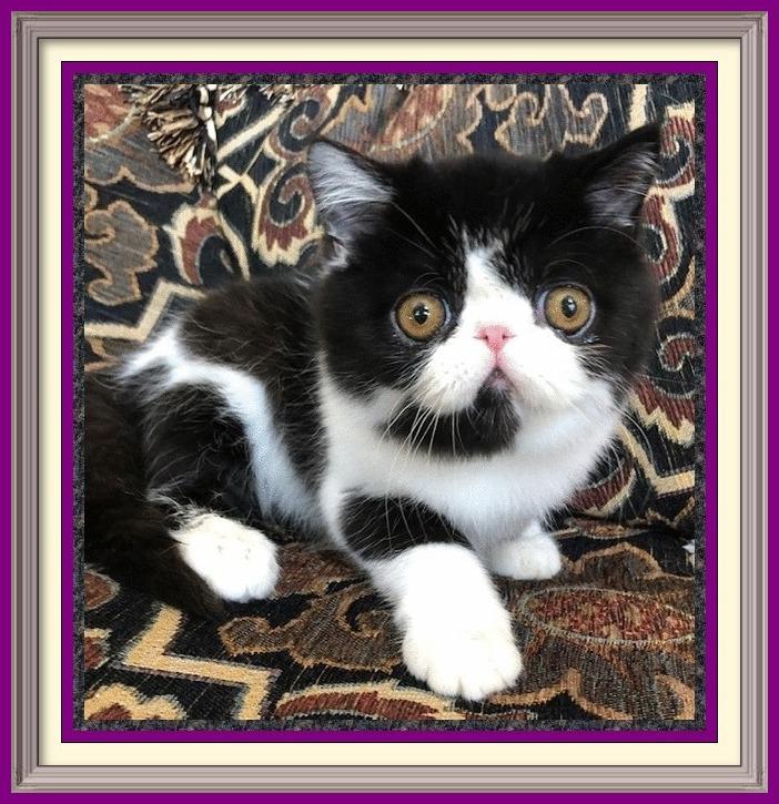 for sale uk, female persian cat for sale, chinchilla persian cat breeders, kittens, tonkinese cat for sale, siamese cat, persian kittens for sale florida, all white persian kittens for sale, chocolate persian kitten, doll face cat, smushed face kittens for sale, persian kittens for sale in Michigan, persian cats and kittens, peke faced cat for sale, russian blue cat, purebred persian cat for sale, persian and himalayan kittens, teacup persian kittens price, snowshoe cat breed, grey and white persian cat, fluffy persian kittens, persian kittens for sale in Illinois, black persian for sale, persian cat health, persian puppy, cat, persian kittens for sale in ga, persian kittens for sale in nc, chinchilla persian for sale, black cat breeds, chinchilla persian cat for sale, male persian kittens for sale, show persian cat, himalayan persian mix kittens for sale, black and white persian kitten, traditional persian kittens for sale, persian kittens for sale los angeles, mini persian cat for sale, hairless cat breeds, persian cat grey price, house cats for sale, cute persian cats for sale, mini persian kittens, cute persian kittens for adoption, pure white persian kittens for sale, teacup persian kittens for sale price, flat face persian kitten, persian cat breeding information, where to get a persian cat, calico persian cat for sale, female persian kittens for sale, gray persian cat for sale, white persian kittens with blue eyes for sale, baby doll persian cats, modern persian cat, smashed face cat for sale, toy persian kittens for sale, persian cat pet, persian cross kittens, black persian cat for adoption, persian cat problems, where can i buy a white persian kitten, cat kitten, persian cat behavior, silver shaded Persian, doll face persian cat personality, persian kittens for sale California, buy white persian kitten, buy white persian cat, different persian cat breeds, persian cat for sale price, large persian cat, persian cat personality temperament, a persian cat, per