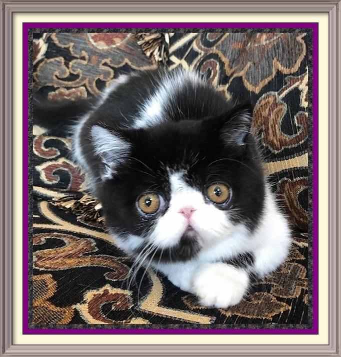 persian cat breeder, persian cat, persian kittens for sale, persian cat for sale, persian kitty, persian cat rescue, himalayan cat, himalayan kittens for sale, persian cat price, kittens for sale, himalayan cat for sale, himalayan kittens, buy persian cat, persian kittens for sale near me, teacup persian kittens for sale, teacup cats for sale, persian cats for adoption, persian kittens for adoption, white persian kittens for sale, teacup persian kittens, miniature cats for sale, teacup kittens for sale, teacup kittens, persian breeders, persian rescue, white persian cat, teacup persian kittens for sale near me, exotic cats, himalayan cat breed, chinchilla persian kittens for sale, exotic shorthair kittens for sale, doll face persian kittens for sale, persian cat kitten, persian cats for sale near me, himalayan kittens for sale near me, white persian kitten, persian cat breeders near me, blue persian cat, black persian cat, teacup persian cat, persian kitten breeders, doll face persian kittens, white persian cat for sale, chinchilla cat for sale, chinchilla persian kittens, where to buy persian cat, exotic shorthair cat, exotic kittens for sale, long haired kittens for sale, fluffy kittens for sale, persians for sale, buy persian cat online, teacup persian cat for sale, himalayan persian kittens for sale, teacup kittens for sale near me, grey persian cat, persian breeders near me, buy persian kitten, persian cat personality, where can i buy a persian cat, blue persian kittens for sale, calico persian kittens for sale, persian cat care, himalayan cat adoption, cheap persian kittens for sale, white kittens for sale, persian cats for adoption near me, black persian kitten, himalayan persian kittens, silver persian kittens for sale, pedigree persian kittens for sale, flat face cat for sale, black persian kittens for sale, hairless cat for sale, persian cattery, persian cat kitten for sale, sphynx cat for sale, exotic cat breeds, teacup Persian, exotic shorthair cat for s