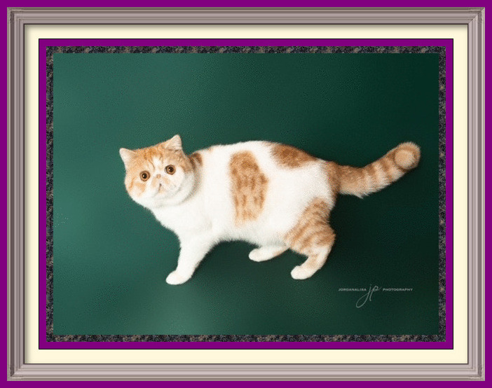 Purrtopia Crazy Cuban-framed
