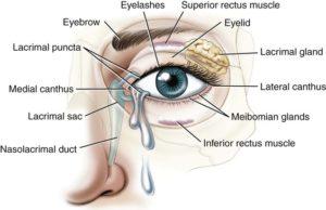 eye adnexae and surface ofthe eye
