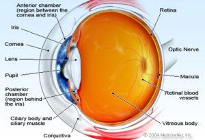 eye anatomy cross section