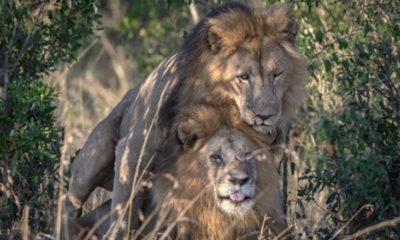 """Controversia en Kenia por """"leones gays"""""""