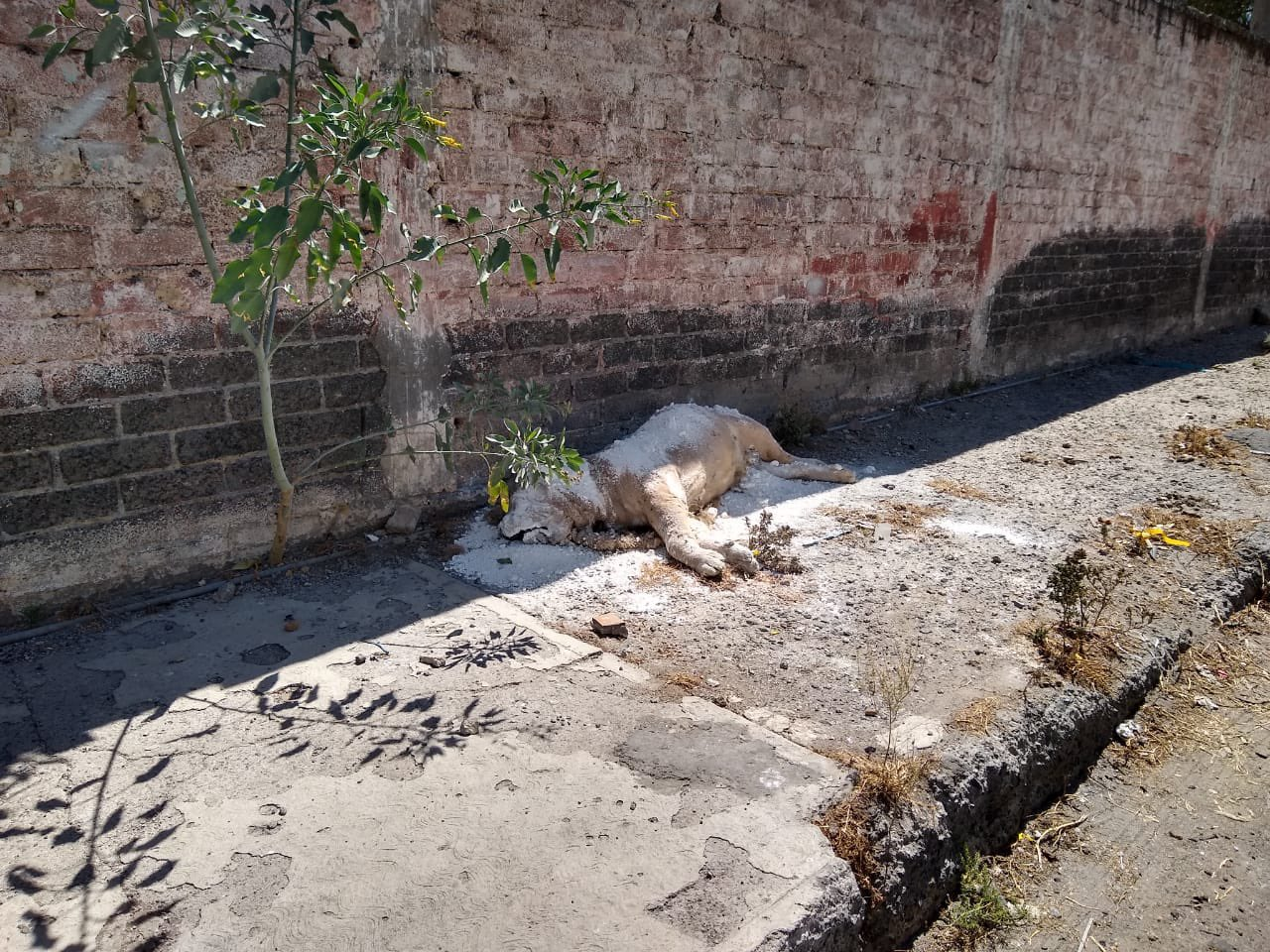 Hallan cadáver de un león en la alcaldía Iztapalapa