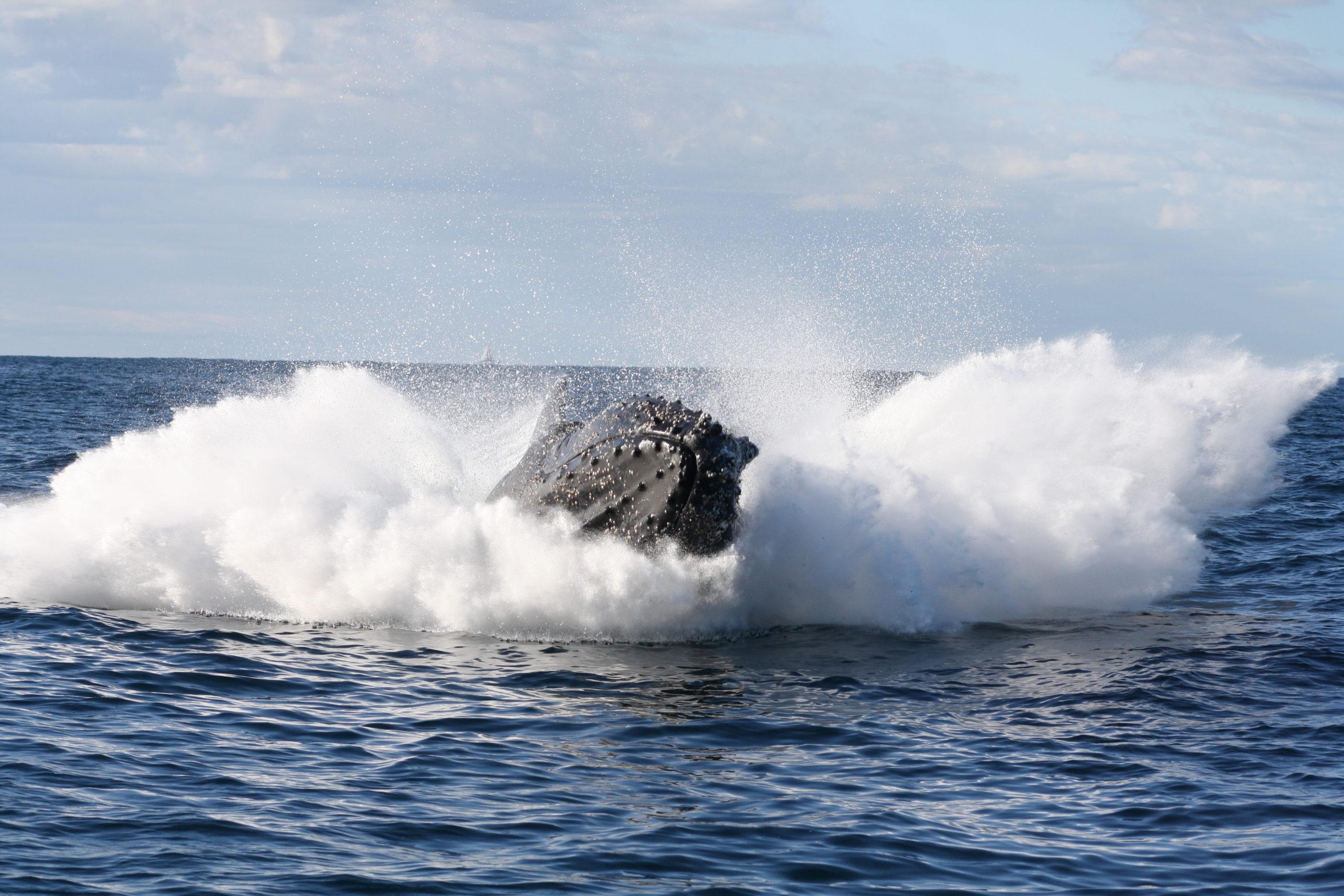 Humback Whale