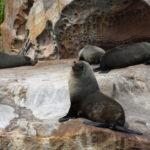 Fur Seals Broken Bay
