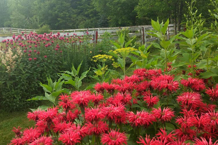 KULandscapes red bee balm