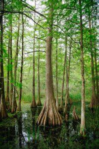 Bald Cypress Tree in swamp
