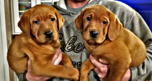 Fox Red Lab Puppies for sale Tx - Hargrove Heaven Farm