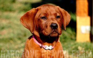 best-lab-breeder-texas-california-233