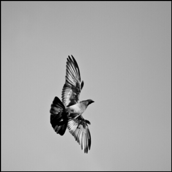Pigeon in Flight - Dj Boy