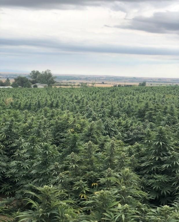 Eastern Oregon High Density Hemp Grow Test
