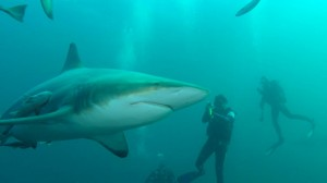 Black tip shark and two divers