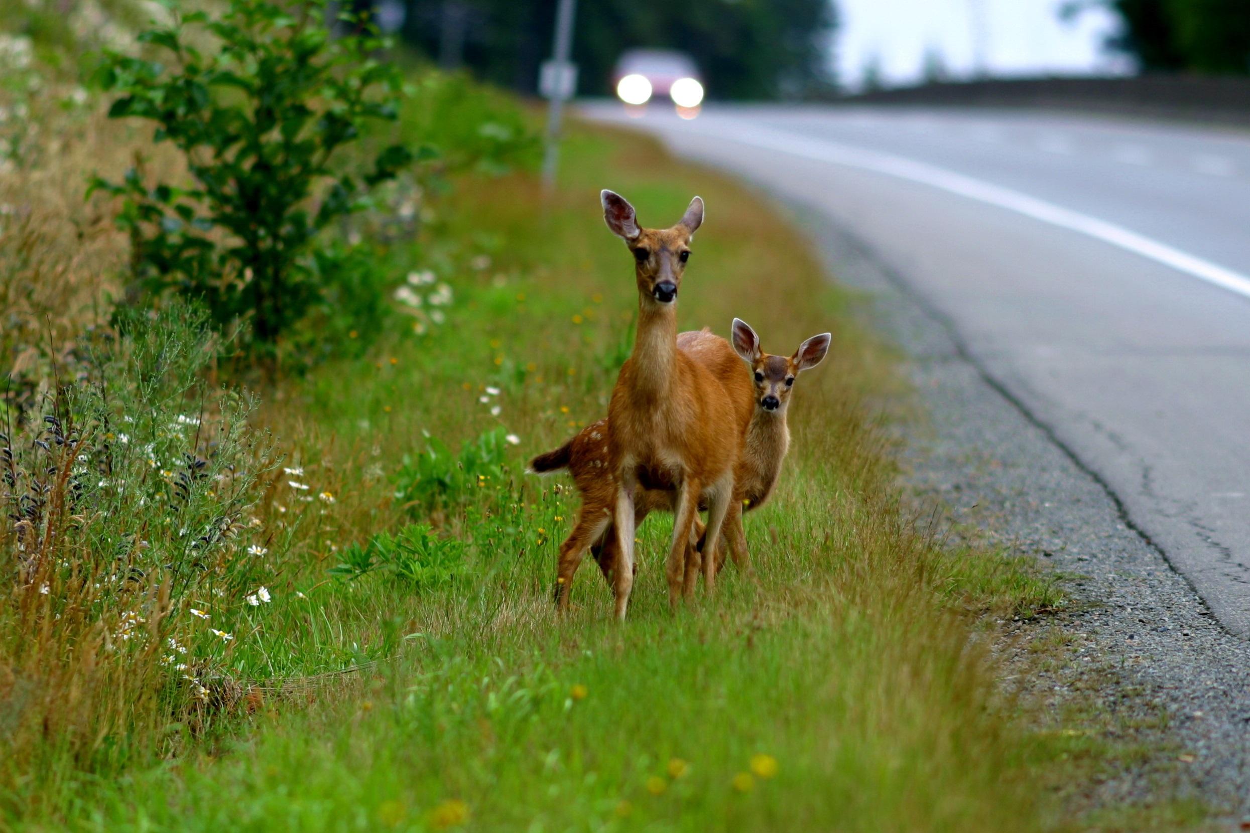 deer collisions