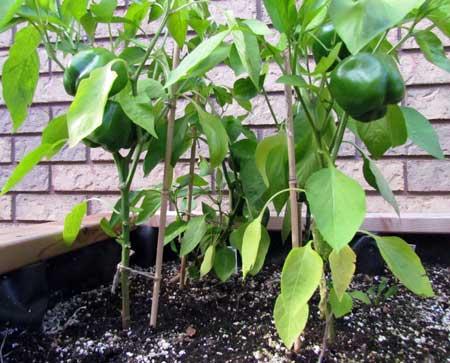 California Wonder peppers SIP